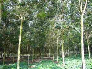 Bridgestone hodlá ještě intenzivněji podporovat trvale udržitelnou produkci přírodního kaučuku